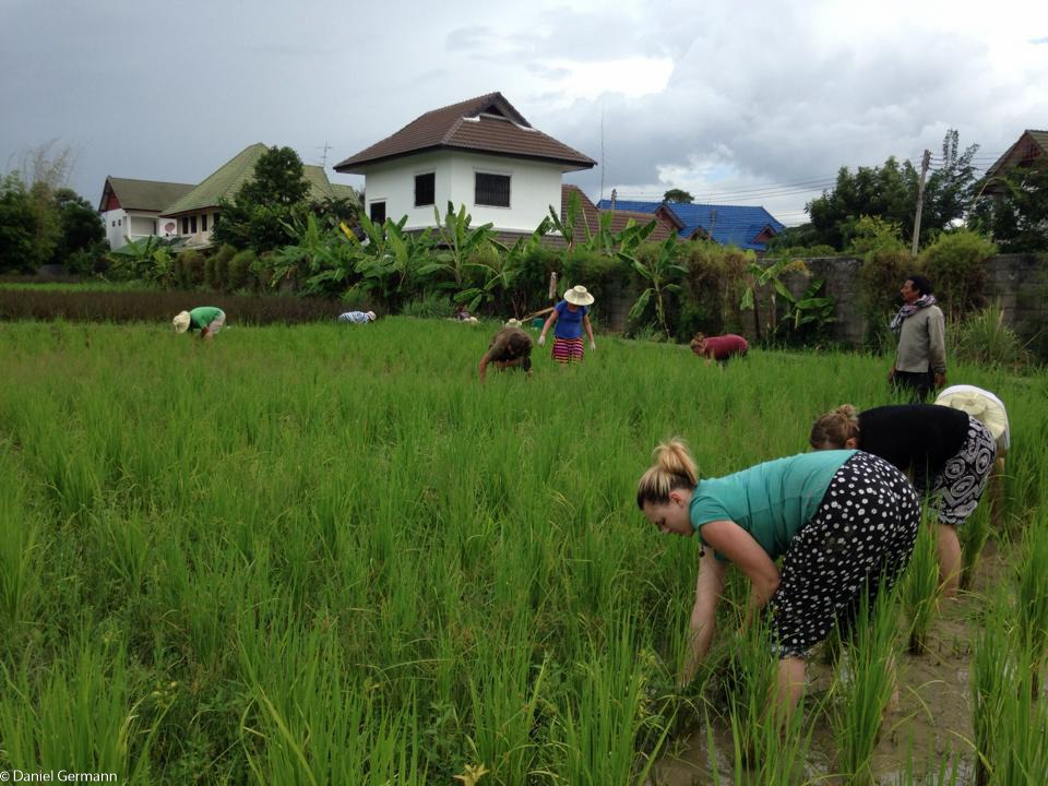 Helping Harvest Rice in Thailand
